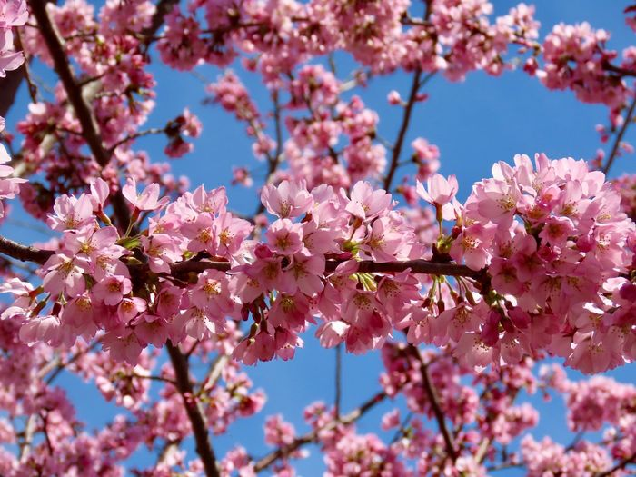 Flowering trees cherry blossoms 🌸 pink petals blue skies beauty in nature selective focus Flower Fragility Freshness Springtime Blossom Low Angle View No People