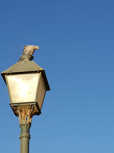 Adapted To The City Street Light Clear Sky Bird Blue Old-fashioned Sky Animal Themes Dove Dove On Street Light Deep Blue Sky Blue Sky And Dove