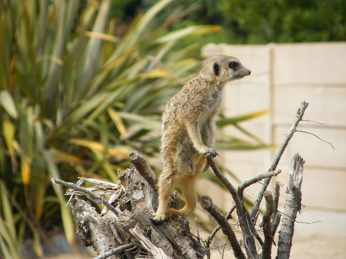 Durrell Wildlife Park Animal Themes Animal Wildlife Close-up Day Full Length Mammal Meerkat Meerkat Climbing Meerkat In A Tree Nature No People One Animal Outdoors Plant