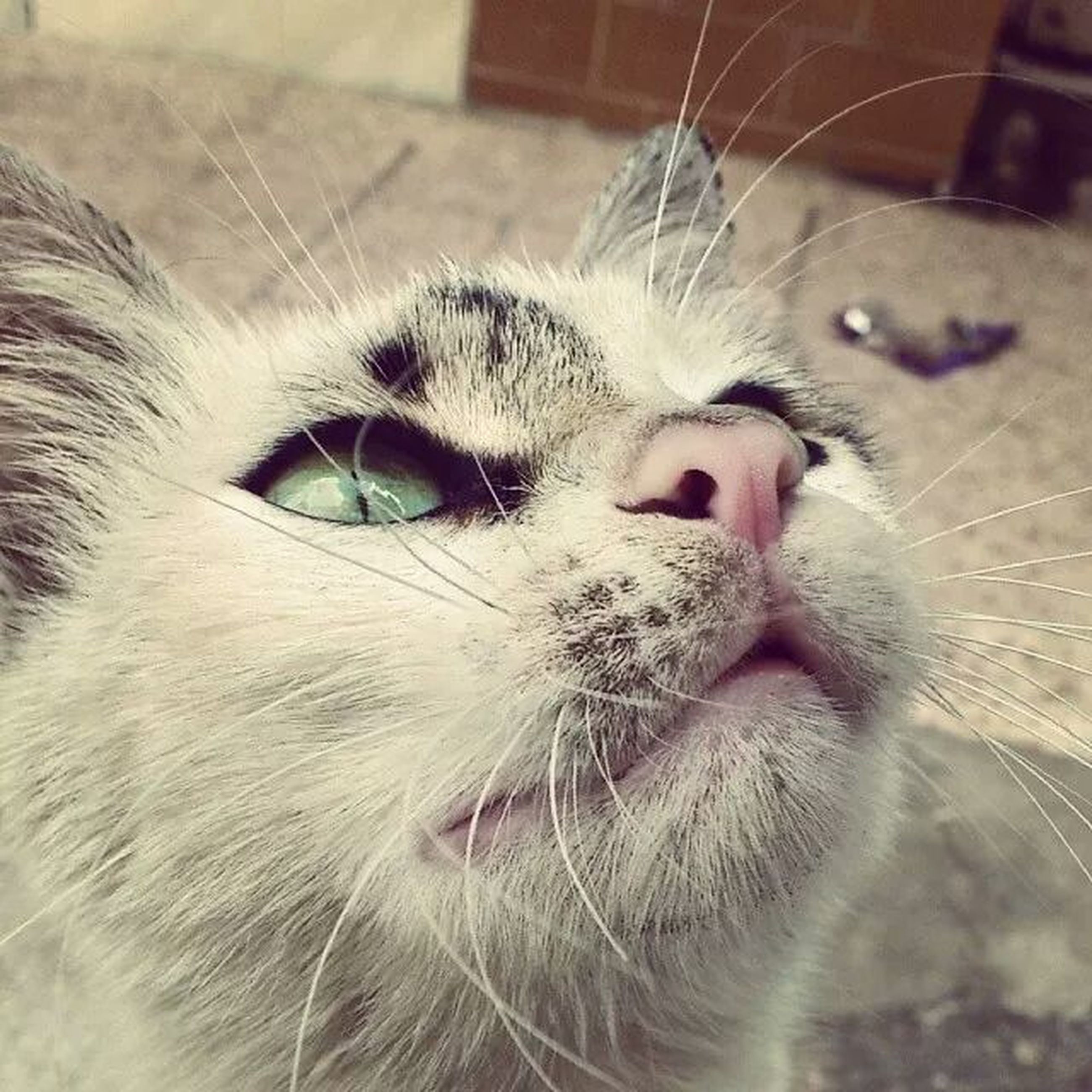 one animal, animal themes, domestic animals, pets, mammal, domestic cat, cat, feline, whisker, animal head, close-up, animal body part, focus on foreground, portrait, looking at camera, indoors, animal eye, animal hair, snout