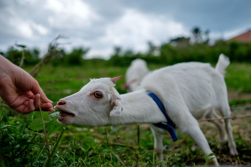 Cropped hand feeding leaves to goat on field