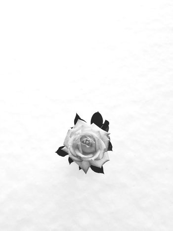 Flower Nature Beauty In Nature Studio Shot Petal No People Freshness Fragility Close-up White Background Flower Head Day After Snow After Snowing Day Single Flower Rose🌹 Minimalism Simplicity Simple Beauty
