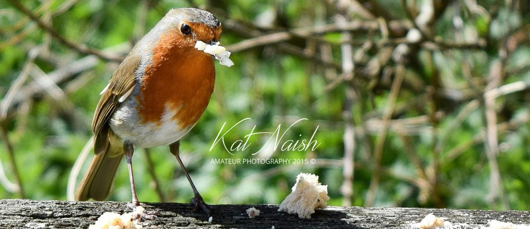 Cheeky robin Picnic Escaping Relaxing Wildlife Photography Birds