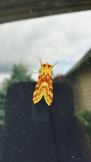 Moth PNW Nature Orange Color