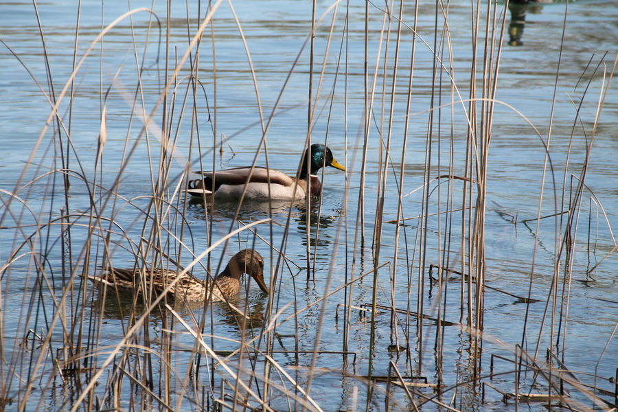 Él y ella Ducks Outdoors Canonphotography Beauty In Nature Nature Photography No People Photography Loveanimals Water Banyoles Girona Landscape Tranquility Nature Canon Animals
