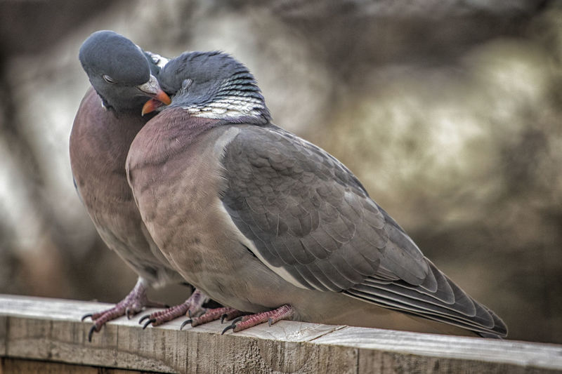 lovebirds Love Animal Animal Themes Animal Wildlife Animals In The Wild Beak Bird Close-up Cooing Day Focus On Foreground Full Length Looking Nature No People One Animal Outdoors Perching Pigeon Pigeons Railing Vertebrate