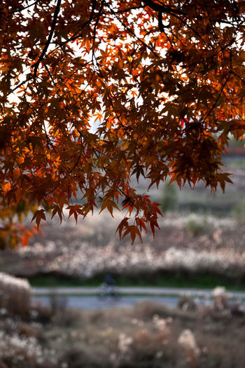 autumn at Anyangcheon in Seoul, South Korea Anyangcheon Autumn Fall Beauty Autumn Autumn Color Beauty In Nature Branch Change Close-up Day Fall Focus On Foreground Growth Leaf Maple Maple Leaf Maple Tree Nature No People Outdoors Scenics Sky Tranquility Tree Water