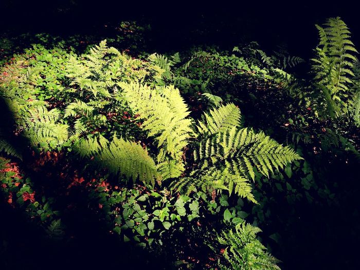 Nature No People Beauty In Nature Ferns 🌾 Fern Leafs Green Color HuaweiP9Photography Huaweiphotography HuaweiP9 Huawei P9 Leica Uncultivated Plant Growth