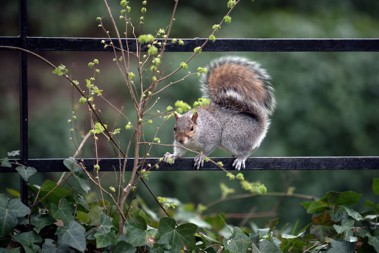 Close-up of squirrel on fence at park