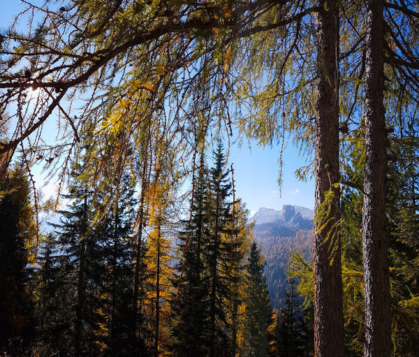 Autumn colours in the Dolomites, Italy Larch Tree Autumn Autumn colors Mountain Mountain Range Mountains Tree Branch Forest Sky Pine Woodland Evergreen Tree Coniferous Tree Fir Tree Pine Wood Spruce Tree Pinaceae Pine Tree Treetop Tree Area WoodLand Tree Trunk