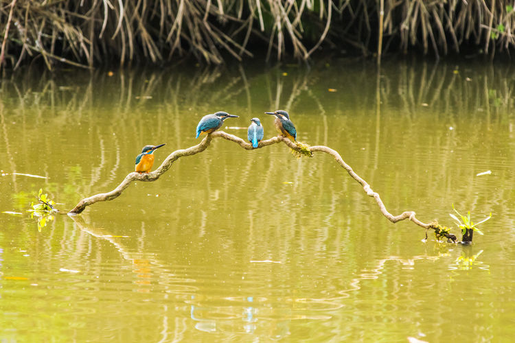 Kingfishers perching on plant in lake