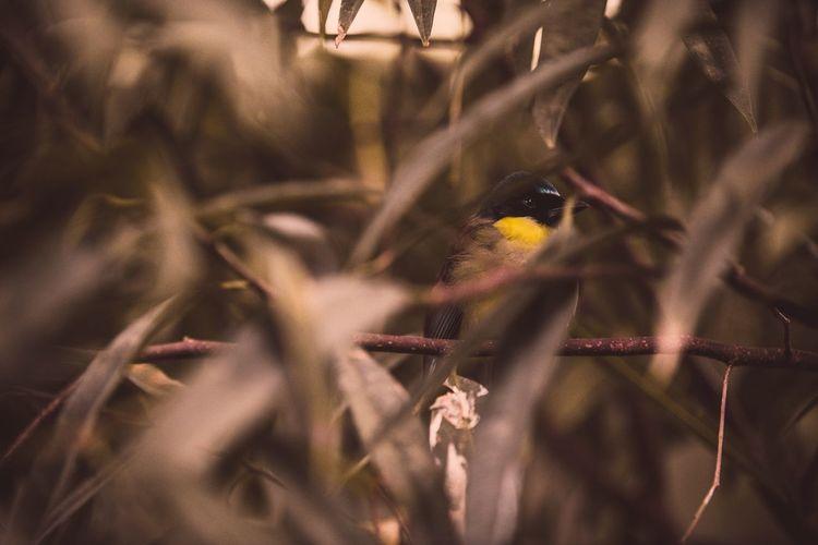Masked bird