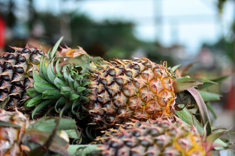 The pineapple Pineapple Beauty In Nature Close-up Day Delicious Focus On Foreground Food Food And Drink Freshness Fruit Growth Healthy Eating Leaf Nature Outdoors Photographer Photography Pineapple Plant Plant Part Selective Focus Tropical Fruit