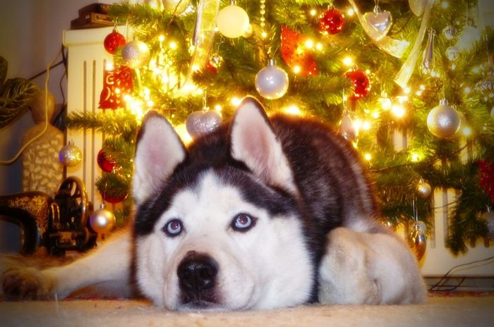 Syberian Husky Animal Themes Christmas Christmas Decoration Christmas Lights Christmas Ornament Christmas Tree Close-up Day Dog Domestic Animals Home Interior Husky Illuminated Indoors  Looking At Camera Mammal No People One Animal Pets Portrait Syberianhuskey Syberianhusky