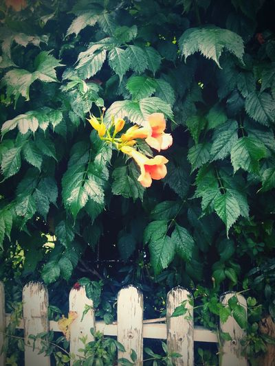 Leaves And Flower Beautiful Natural Beauty Garden Flowers Nature Buds In Bloom Orange Flower Fence White Fence Vintage Vintage View Vintage Photo