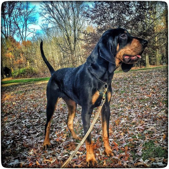 Pistol Dog Black And Tan Coonhound Black And Tan Coon Hound Black And Tan Dog Black And Tan Coonhound Hound Dog HoundDog Hound Enjoying Life
