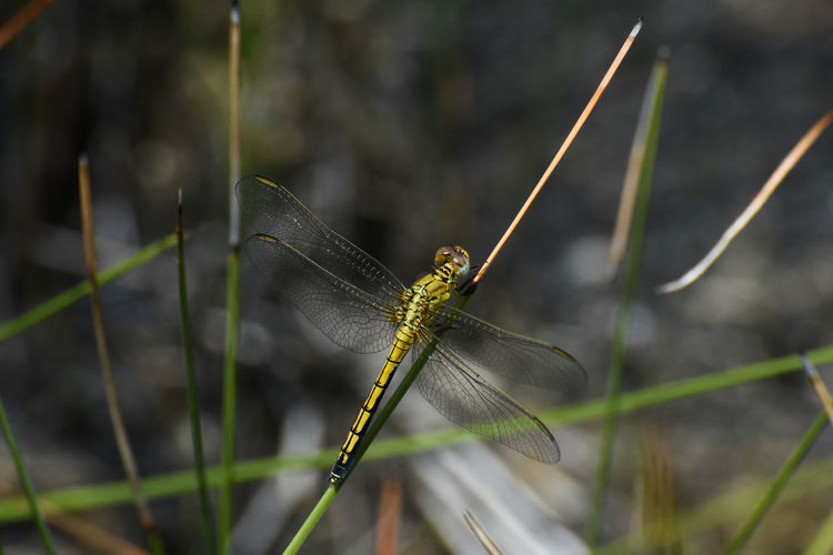 Female Abbott's Skimmer Dragonfly (Orthetrum abbotti) In Grassland Limpopo Female Abbott Abbott's Little Skimmer Dragonfly Dragonflies Orthetrum Abbotti Damselfly Odonata Insect Bug Fly Tail Wing Wings Insect Eye Eyes Thorax Grass Stems Grassland Pattern Freshwater Sitting Perch Perched Large Winged Nature Natural Habitat Environment Summer Beautiful Bright Yellow Brown Black Close-up Defocused Photograph Photography Color Colors Background Backgrounds Horizontal Invertebrate Animal Wildlife One Animal Animals In The Wild Animal Themes Animal Animal Wing Plant Focus On Foreground Day No People Growth Beauty In Nature Outdoors Green Color Zoology Butterfly - Insect Blade Of Grass Butterfly