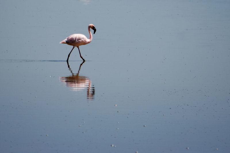 A lone flamingo at lake magadi, the great rift valley, kenya