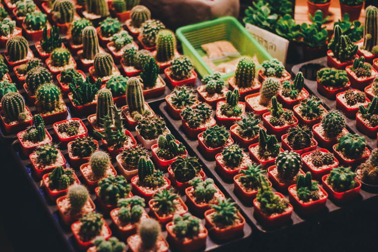 High Angle View Of Succulent Plants For Sale In Market