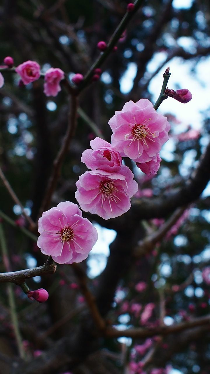 flower, fragility, growth, blossom, tree, springtime, pink color, beauty in nature, branch, petal, nature, freshness, apple blossom, flower head, orchard, plum blossom, twig, botany, no people, outdoors, blooming, stamen, day, focus on foreground, close-up, low angle view