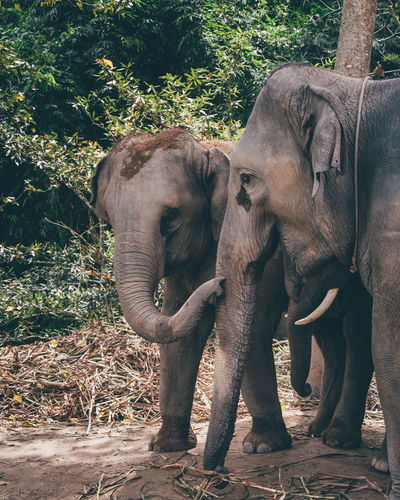 Elephant Animal Animal Themes Vertebrate Group Of Animals Mammal Animals In The Wild Two Animals Animal Wildlife Day Tree Land Animal Trunk Nature Young Animal Plant No People Field Animal Family Herbivorous Outdoors Zoo