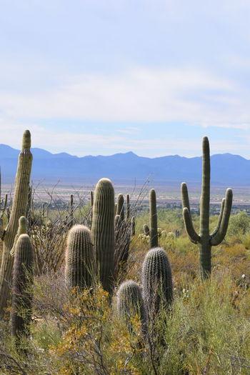 Saguaro land