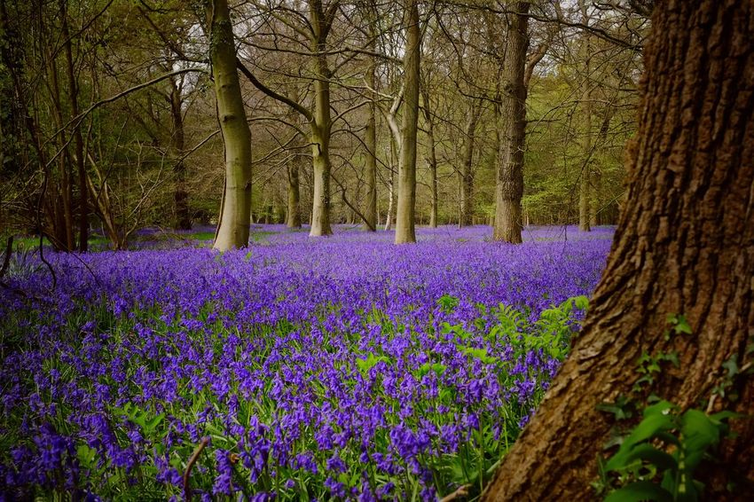 Sea of blue, Shedfield, Hampshire, UK. Bluebells Purple Nature Beauty In Nature Growth Flower Tree No People Tranquility Outdoors Field Day Tranquil Scene Fragility Tree Trunk Scenics England Woodlands Forest FreshnesssCrocuss The Great Outdoors