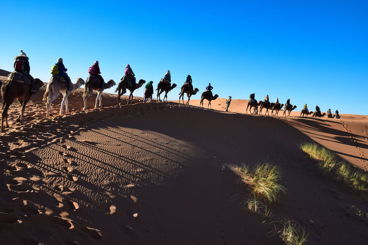 Row of people and camels against clear sky