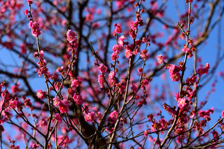 Plant Growth Beauty In Nature Flower Flowering Plant Branch Low Angle View Tree Freshness Fragility Nature Day Springtime No People Blossom Pink Color Vulnerability  Focus On Foreground Close-up Selective Focus Outdoors Plum Blossom Cherry Blossom Spring Cherry Tree
