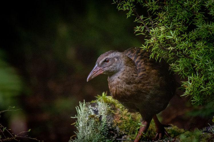 Karamea South Island NZ Wildlife & Nature Bird Endemit Forest New Zealand South Island New Zealand Weka West Coast West Coast New Zealand Wildlife