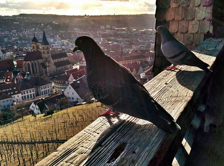 Contemplating the cityscape Pigeons Sunset Oldtown