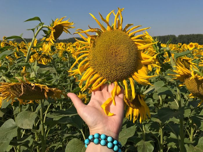 Cropped hand of woman touching sunflower at farm