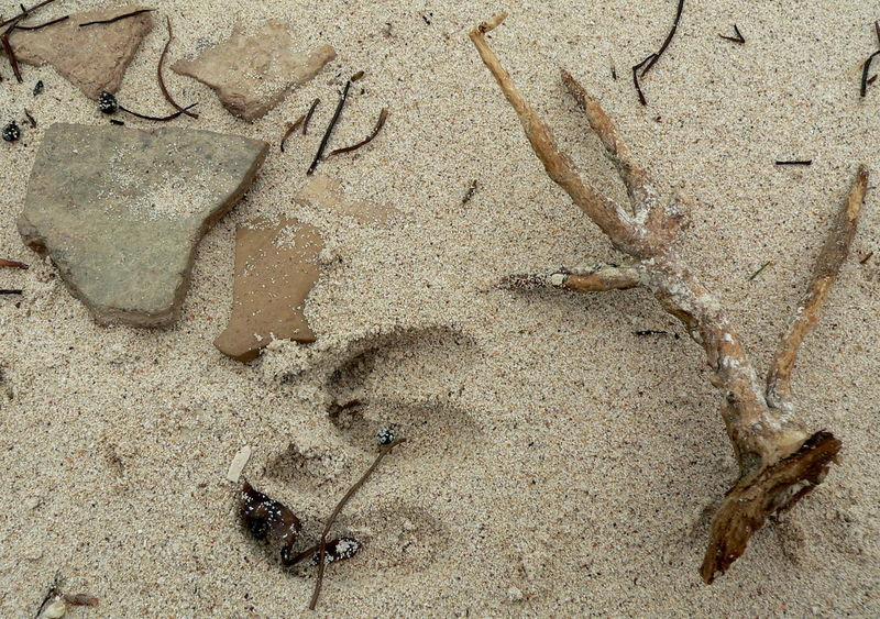 Animal Track Beach Big Pine Key Close-up Deer On Beach Deer Tracks Florida Keys Key Deer Nature Sand Sandy Track - Imprint Animal Themes