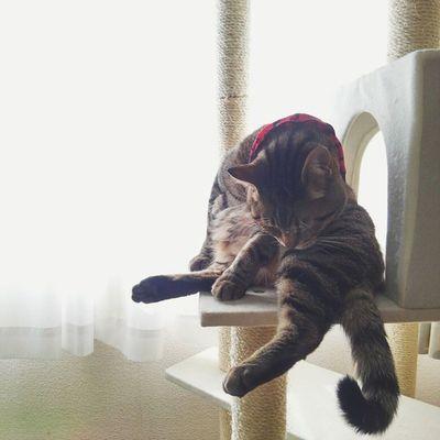 おはようございます☀ ・ 朝から念入りに、毛づくろい。 ・ 今日も1日ガンバロー Vscocam ねこ ねこのいる生活 にゃんだふるらいふ 猫さんとの生活 にゃんこきじとら きんたろう 毛づくろい キャットタワーig_cat nekostagram cat_stagram vscocats world_kawaii_cats animals_cuts goodmorning