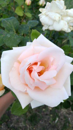 The most beautiful rose #beautiful Love #Nature  #likeforlike #likemyphoto #qlikemyphotos #like4like #likemypic #likeback #ilikeback #10likes #50likes #100likes #20likes #likere EyeEmNewHere EyeEm Selects Fashion Like Like4like Photography Macro EyeEm Best Shots EyeEmNewHere EyeEm Selects EyeEm Nature Lover EyeEm Gallery Eye4photography  EyeEmBestPics Eye Flower Head Flower Summer Rose - Flower Close-up Plant Petal Blooming Plant Life Hibiscus HUAWEI Photo Award: After Dark