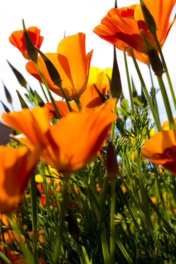 Beautiful Beautiful Nature Beauty In Nature Blooming Californian Poppy Close-up Day Day Lily Flower Flower Head Foliage Fragility Freshness Growth Nature No People Orange Color Orange Poppy Outdoors Petal Plant Poppy Selective Focus Sky