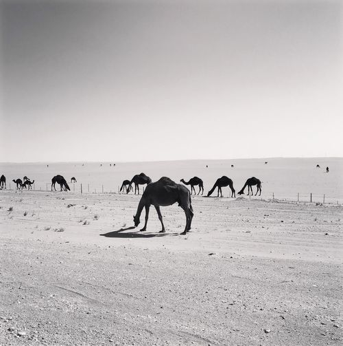 Camels 🐪 on desert 🌵 iPhone 6S Blackandwhite Saudi Arabia KSA Iphone6s Iphone6splus Mithatgüney Animal Themes Sand Domestic Animals Mammal Outdoors Copy Space Nature Animals In The Wild Landscape Safari Animals Desert No People