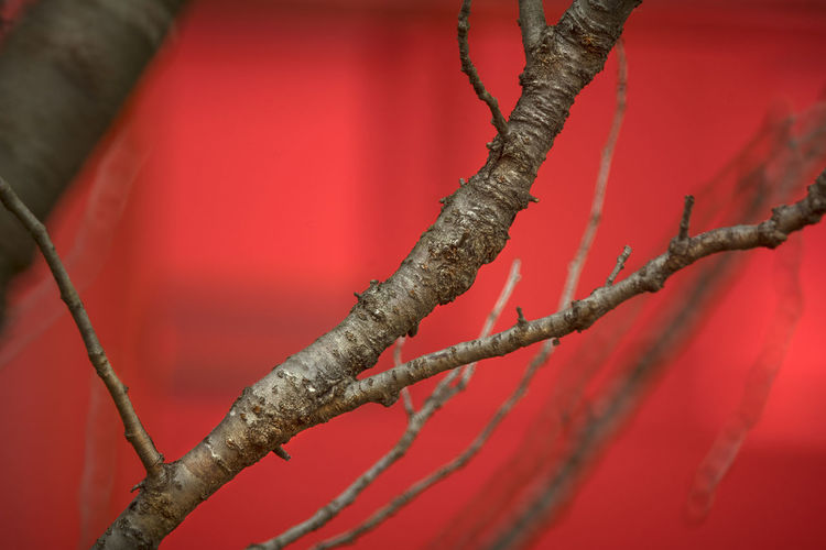Tree Plant Red