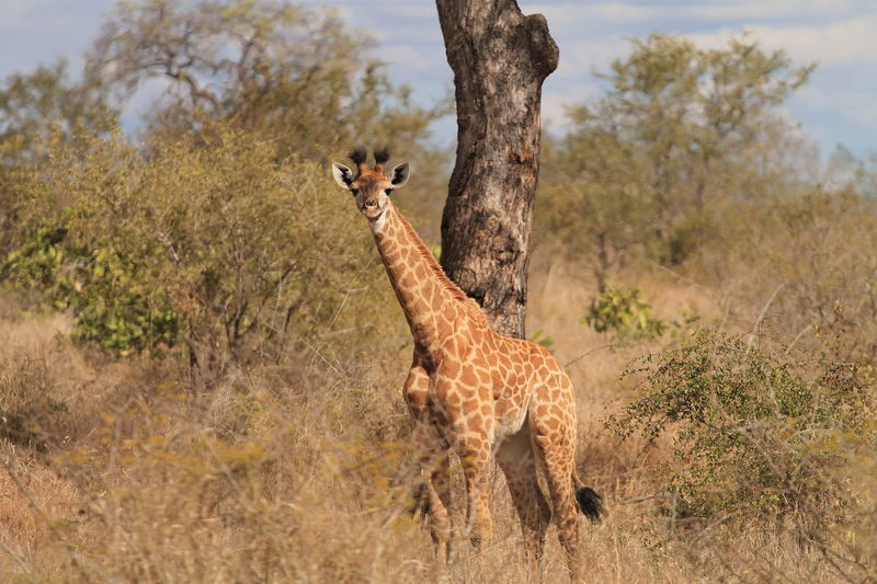 Kruger Park South Africa Animal Themes Animal Wildlife Animals In The Wild Beauty In Nature Day Giraffe Grass Krugernationalpark Krüger National Park  Mammal Nature No People One Animal Outdoors Safari Animals Tree
