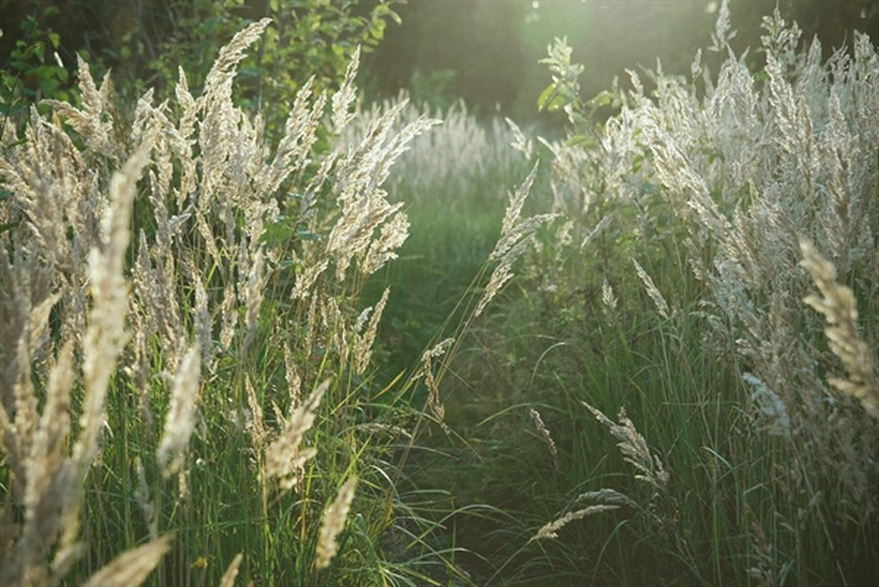 growth, field, nature, agriculture, grass, crop, plant, cereal plant, no people, tranquility, rural scene, outdoors, wheat, day, beauty in nature, close-up, freshness