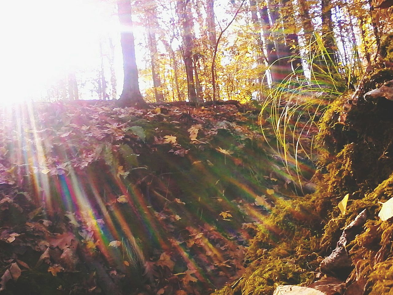 tree, nature, tranquility, forest, tranquil scene, beauty in nature, lens flare, sunbeam, growth, no people, sunlight, day, scenics, outdoors, tree trunk, autumn, landscape, sky