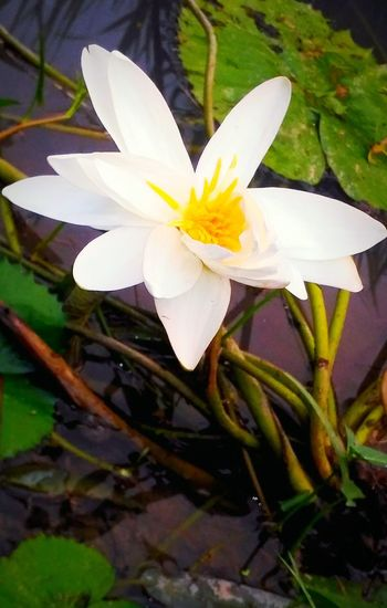 Flower Petal Flower Head Fragility Beauty In Nature Nature Freshness White Color Close-up Plant Water Water Lily Growth Leaf Day Stamen No People Outdoors Springtime Lotus Water Lily Paint The Town Yellow