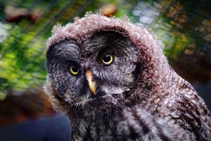 Owl. Animal Wildlife One Animal Looking At Camera Close-up Portrait No People Owl Owl Eyes Owl Photography Owl Portrait. Owls Are Cute