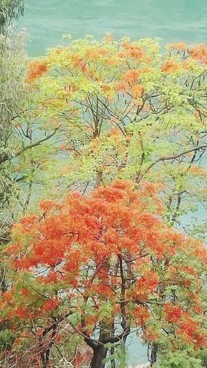 凤凰树系列15 Full Frame Backgrounds Tree Close-up