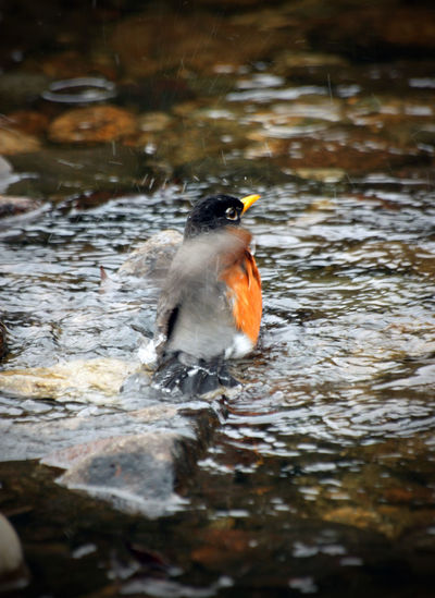 A robin taking a bath Animal Themes Animal Wildlife Animals In The Wild Beauty In Nature capturing motion Close-up Day Nature No People One Animal Outdoors River Water capturing motion