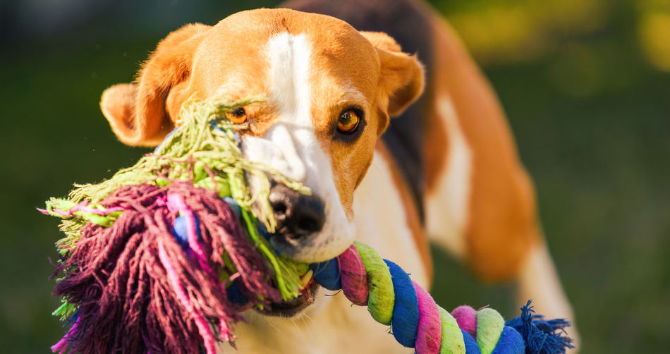 Beagle dog runs in garden towards the camera with colorful toy. sunny day dog fetching a toy.