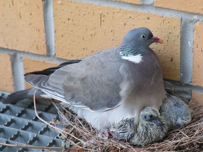Close-up of pigeon perching on nest