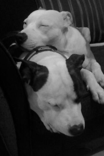 Father And Son Daddy And Son Staffy Staffylovers Staffysofinstagram Staffyoftheday Staffysmile Staffyuk Staffylove Staffordshire Bull Terrier Domestic Animals Animal Themes One Animal Dog Animal Head  Pets Mammal Sleeping Close-up Relaxation Resting Herbivorous Lying Down Animal Nose Zoology