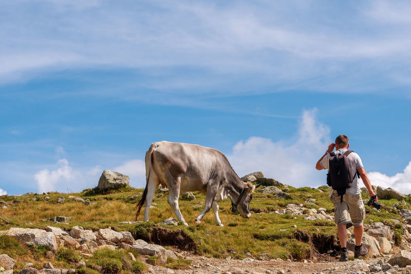 Rear view of mature man with backpack looking at cow grazing on grassy hill against blue sky