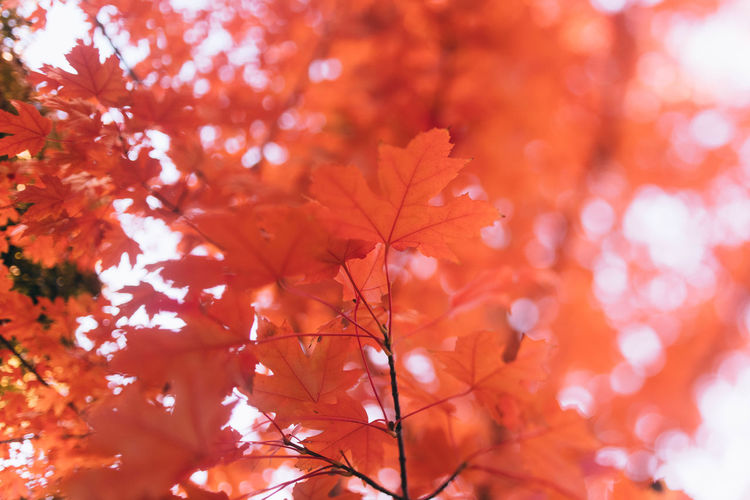 This Is Strength No People Close-up Orange Color Growth Plant Part Nature Maple Leaf Leaf Low Angle View Focus On Foreground Branch Beauty In Nature Autumn Tree Outdoors Maple Tree Natural Condition Fall Autumn Collection Change Plant Day Red Leaves